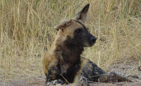 Saving Wild Dogs - We are working to save the last pack of Wild Dogs in Ruaha National Park, Tanzania. Our goal is to minimize human-wildlife conflict between the dogs and villagers. Through education and prevention we can save them.