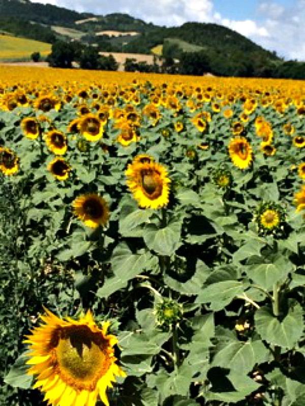 sunflowers resized