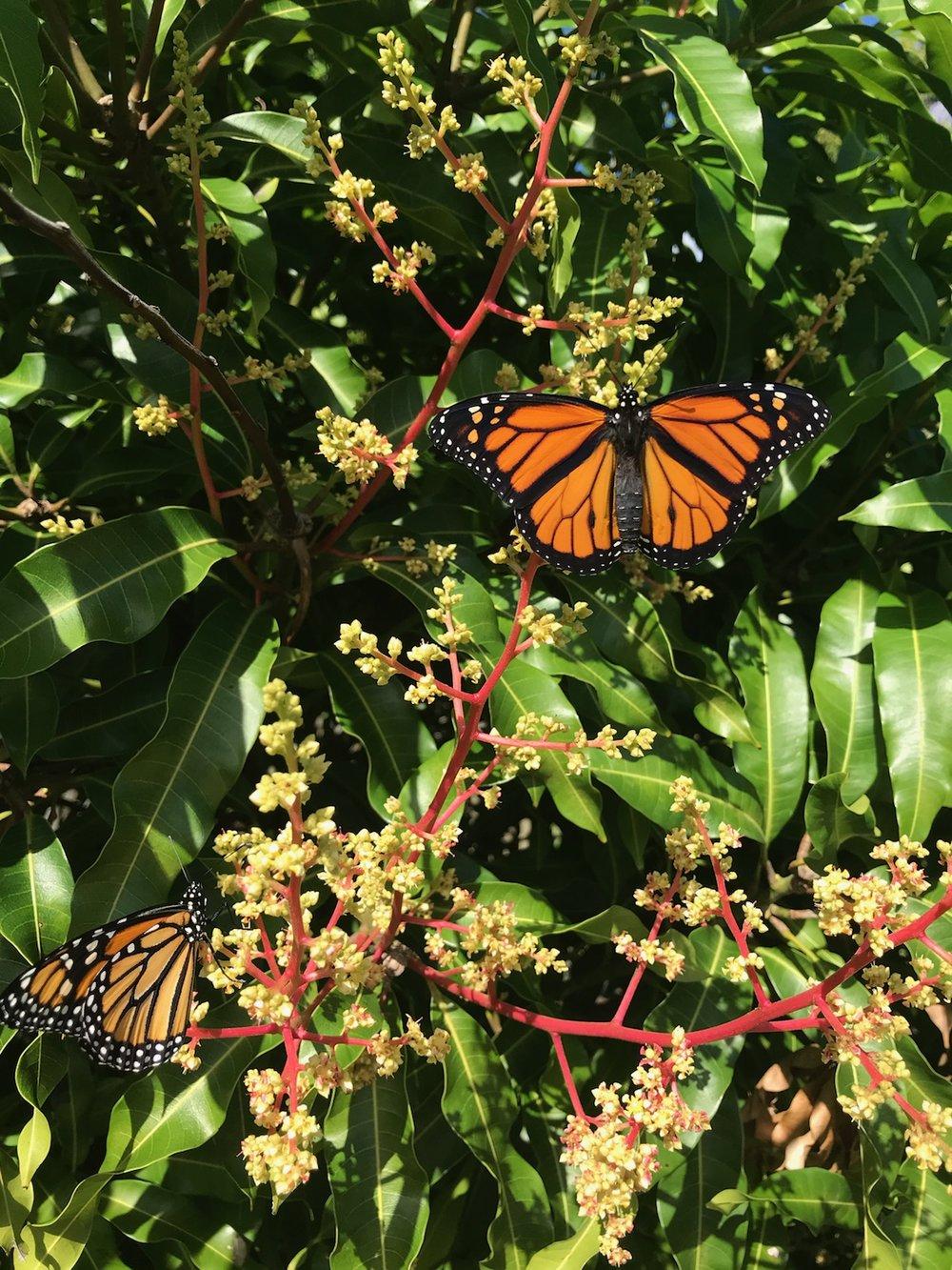 mango butterfly.jpg
