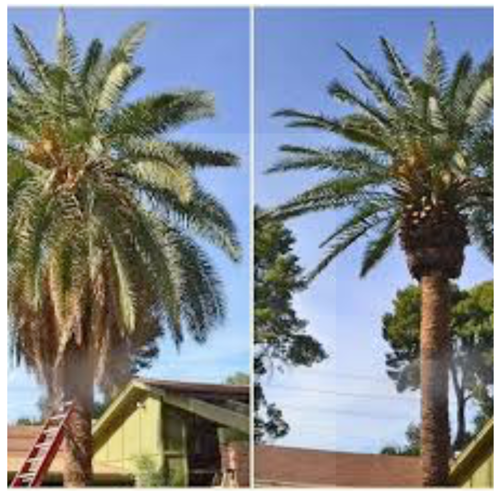 Before and after tree pruning allowing your tree to grow healthy.