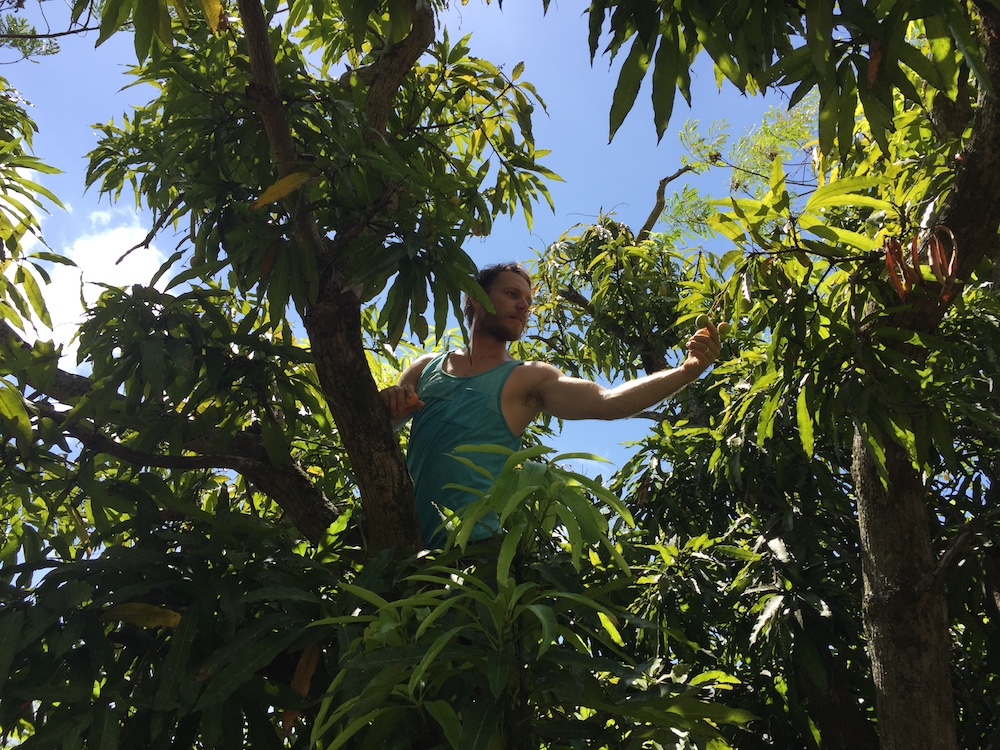 Clif. A climber of trees and an amazing mango picker.