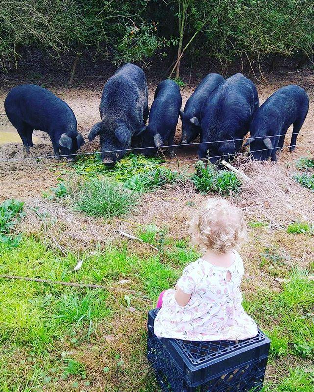 Who needs TV when you have pigs eating.  #natureninefarms #pigtainment #forestraisedpork #gmofree #beetgreens #largeblack #mulefoot #youngfarmers #smallfarm #organicallygrown #eatlocal #supportlocal #visitfoley #orangebeach #gulfshores #fairhope #southalabama #loweralabama #visitalabama #daphnealabama #easternshore #baldwincounty #mobilealabama #pensacola #magnoliasprings