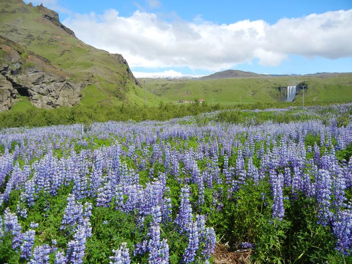 purple wildflowers in iceland