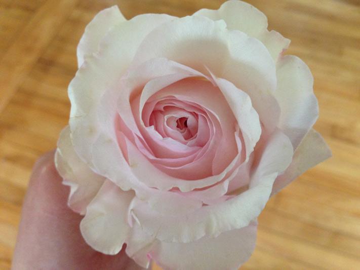 Blush Pink Kiera Garden Rose