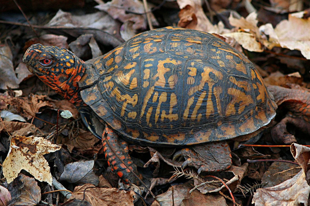 land turtles - Land turtles include