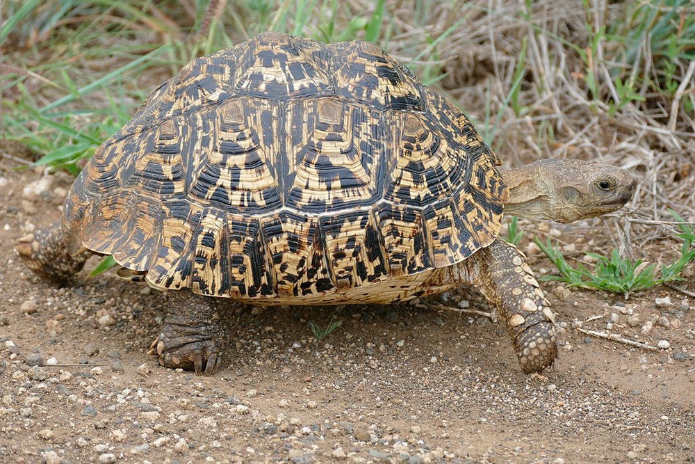 small tortoises - Tortoises are more land based than other turtles.   Identify tortoises by their thick, stalky back legs that are shaped similar to an elephant's. Many tortoises have spiny scales on their front legs to help them burrow in the earth.