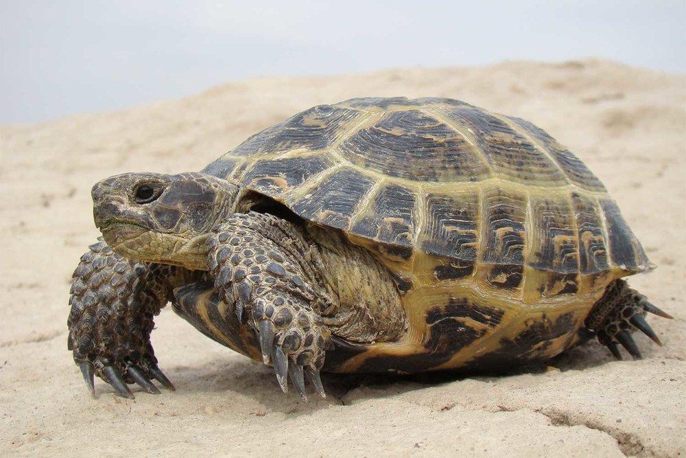 russian tortoise - 6