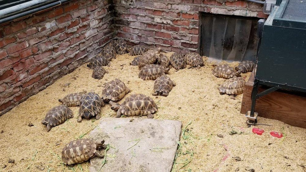 Juvenile Radiated Tortortoises