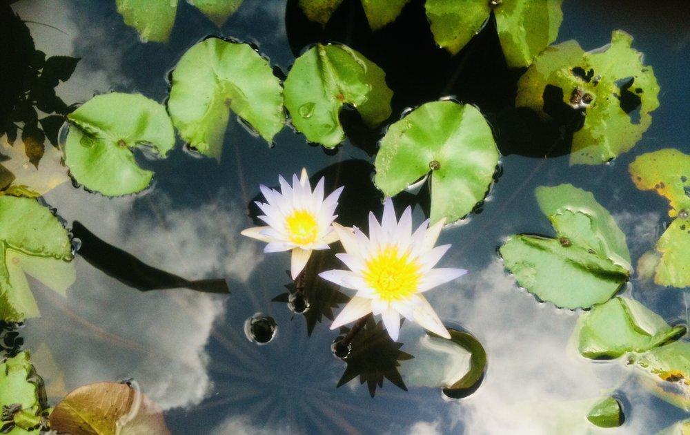 Lotus Flower a symbol of rebirth.