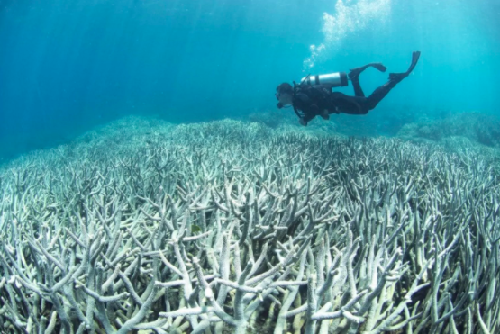 A diver checks the bleached coral at Heron Island on the Great Barrier Reef in Australia. Large parts of the reef could be dead within 20 years as climate change drives mass coral bleaching, scientists have warned. (The Ocean Agency/XL Catlin Seaview Survey/Agence France-Presse via Getty Images)
