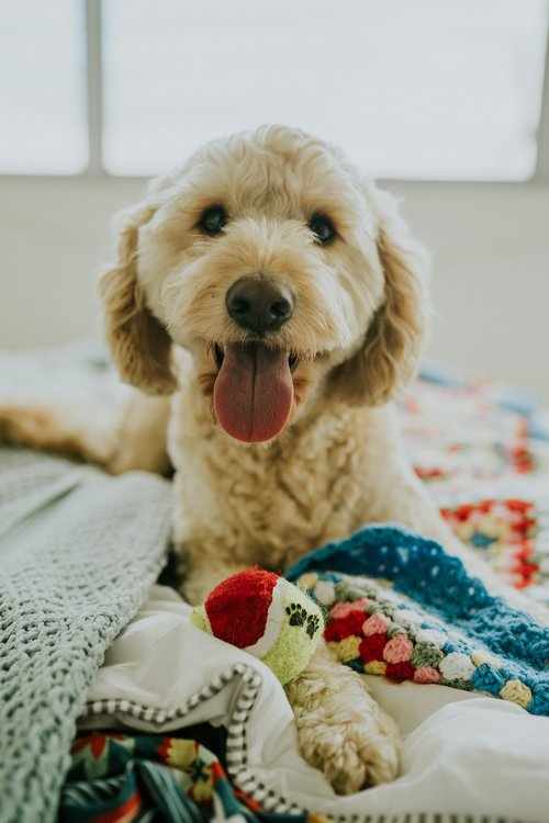 Goldendoodle learning to be calm.