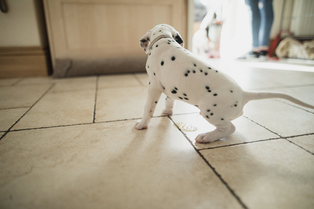 puppy having a potty accident