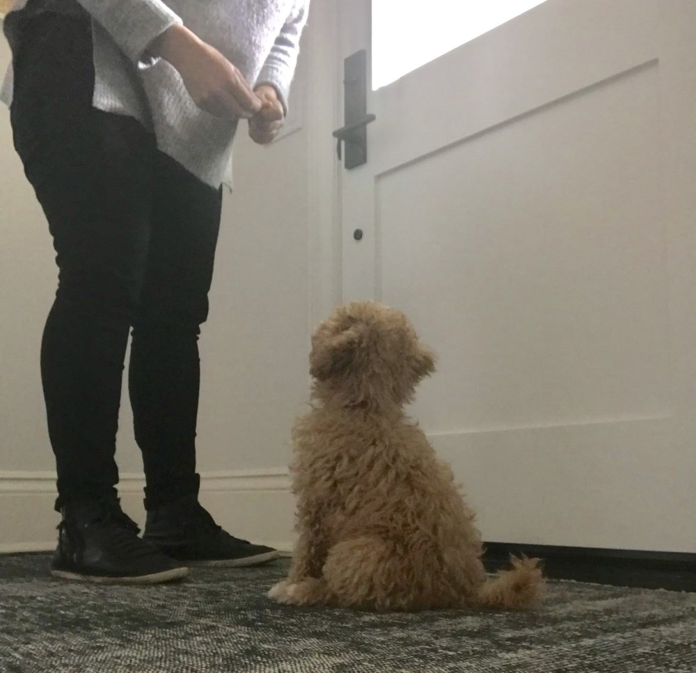Puppy training 101: Train a puppy to sit to say hello.