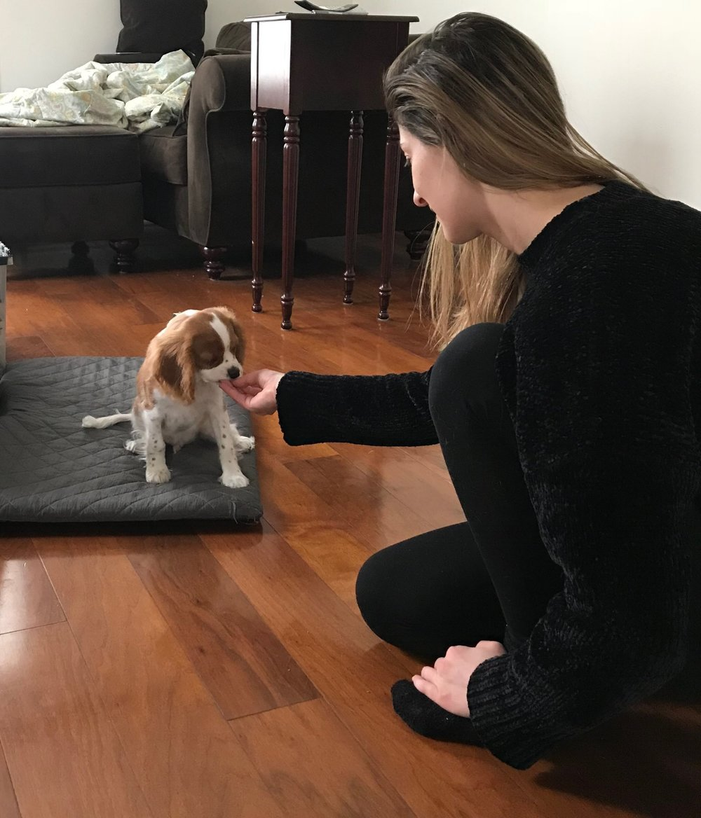 Training a Cavalier KIng Charles Spaniel puppy in Los Angeles.