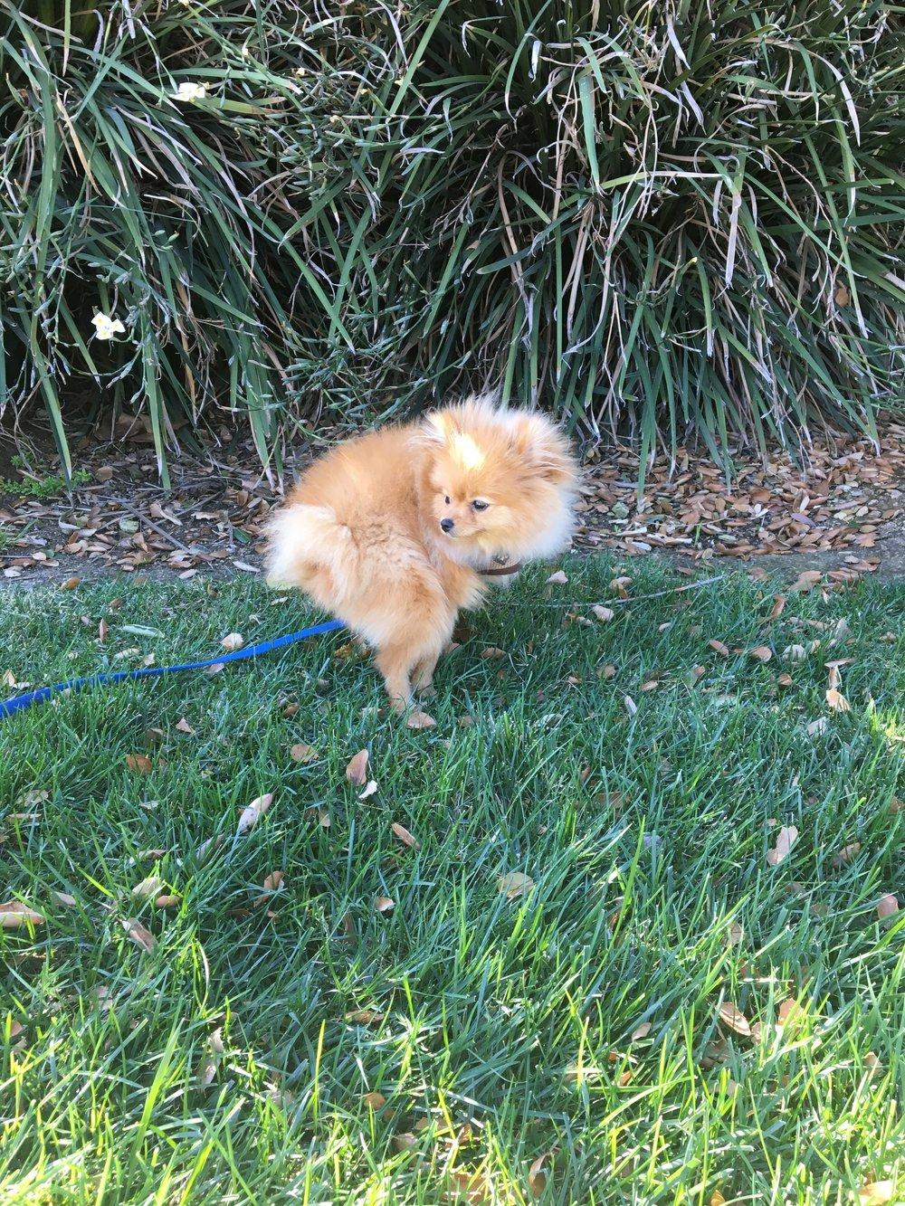 Puppy Training In Los Angeles: How to potty train a Pomeranian puppy.