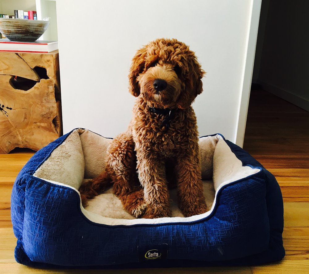 Labradoodle training in Pasadena: How to train a Labradoodle puppy.