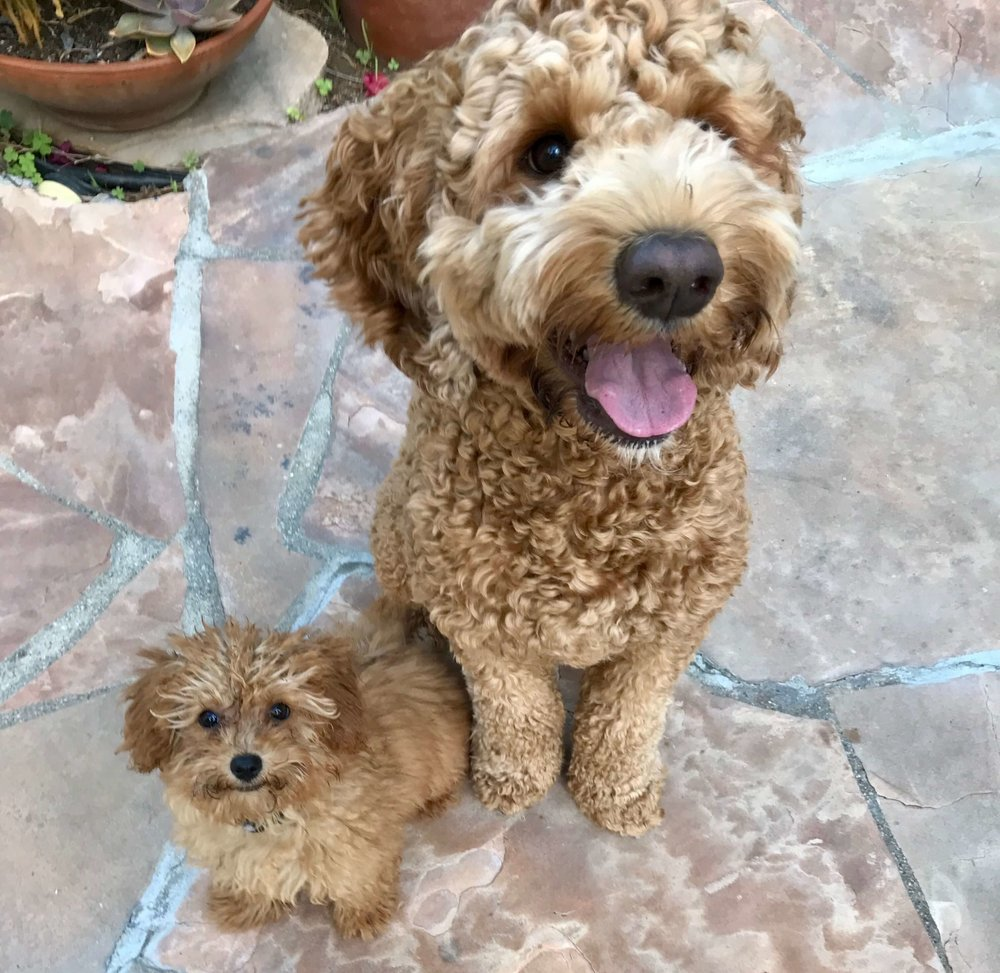 An adult Labradoodle and Toy Goldendoodle puppy on a puppy playdate in Los Angeles.