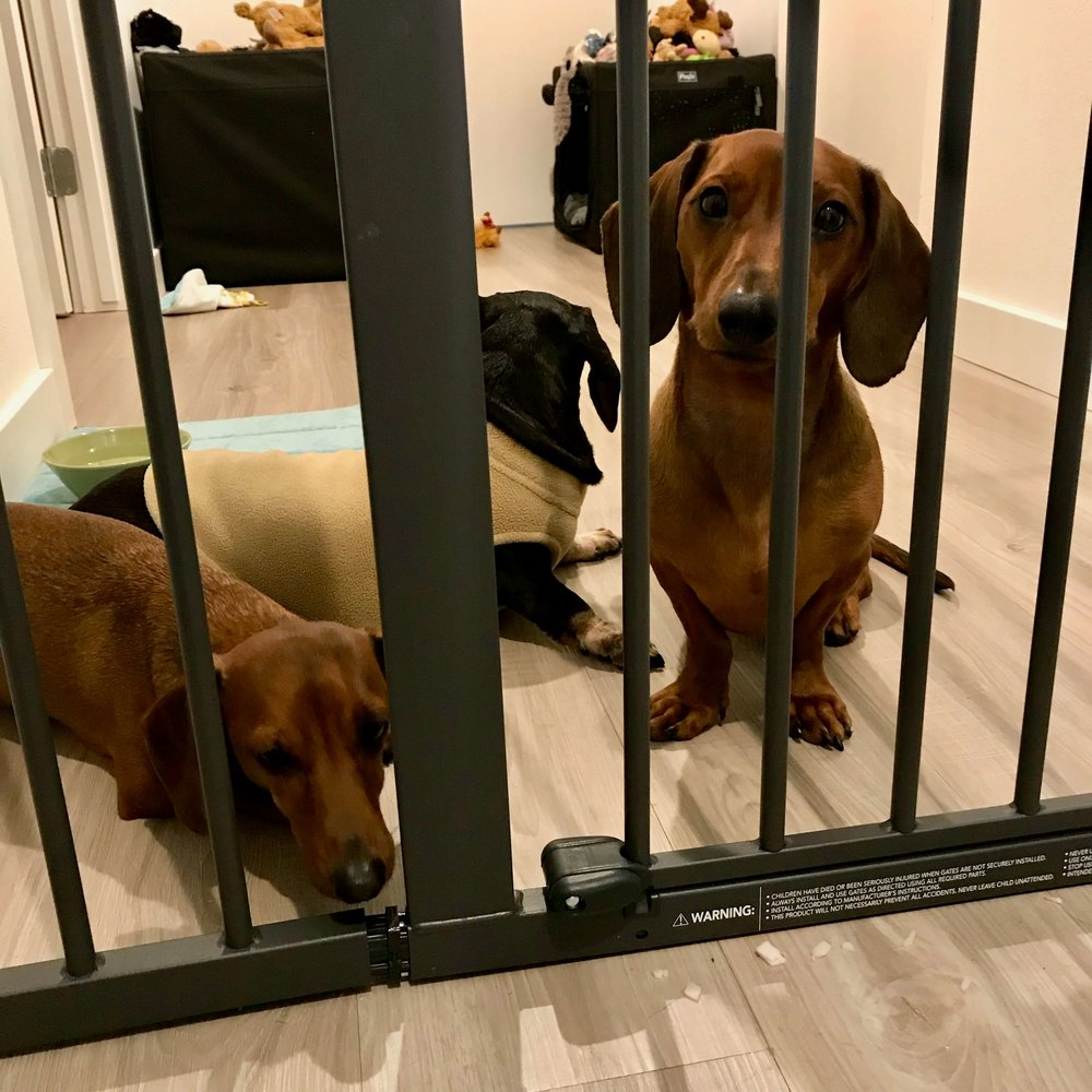 Dachshund dogs getting separation anxiety training in Los Angeles.