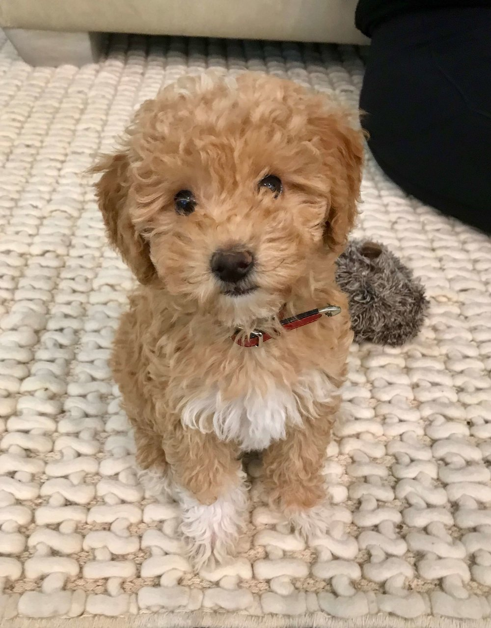 How to train a Goldendoodle puppy.