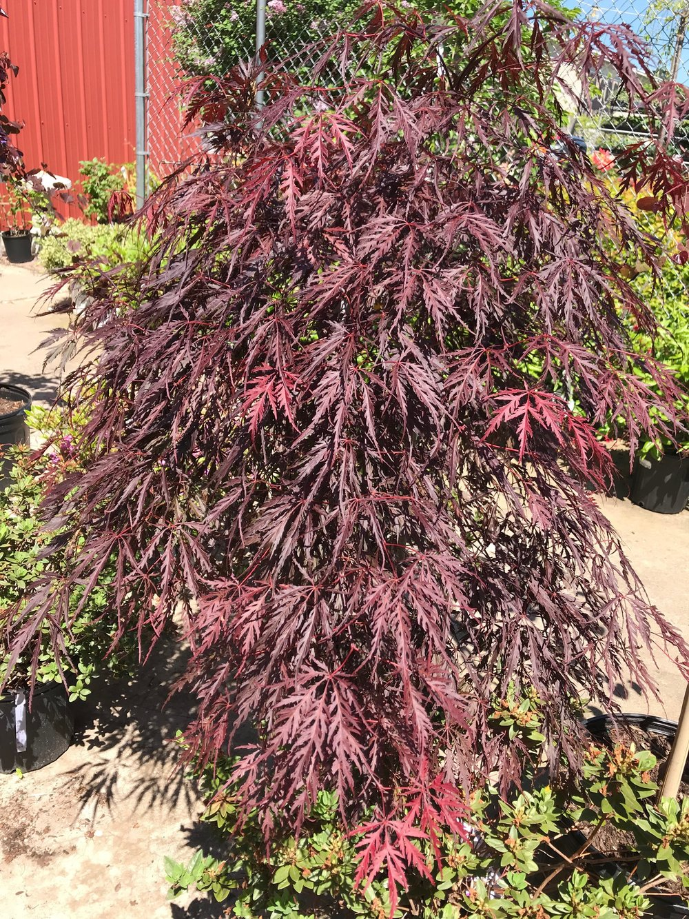 Threadleaf Japanese Maple