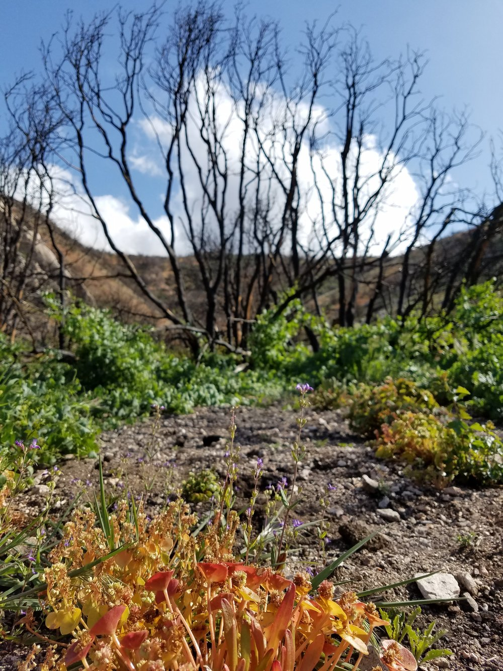 Burned section with TONS of edible miner's lettuce.