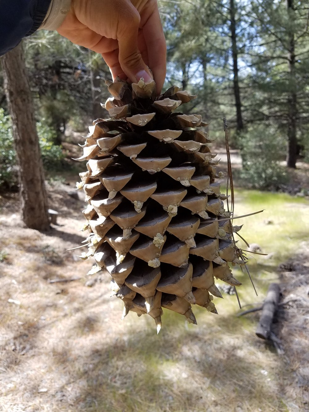 Large pinecones were everywhere.