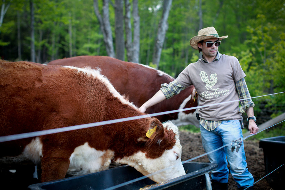 Hereford Beef Cattle