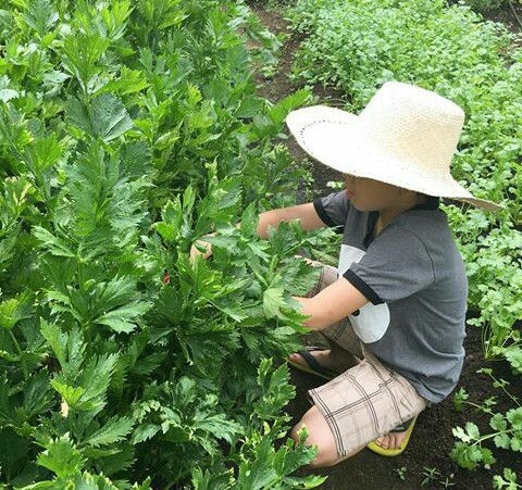 Picking greens at Sonya's Garden