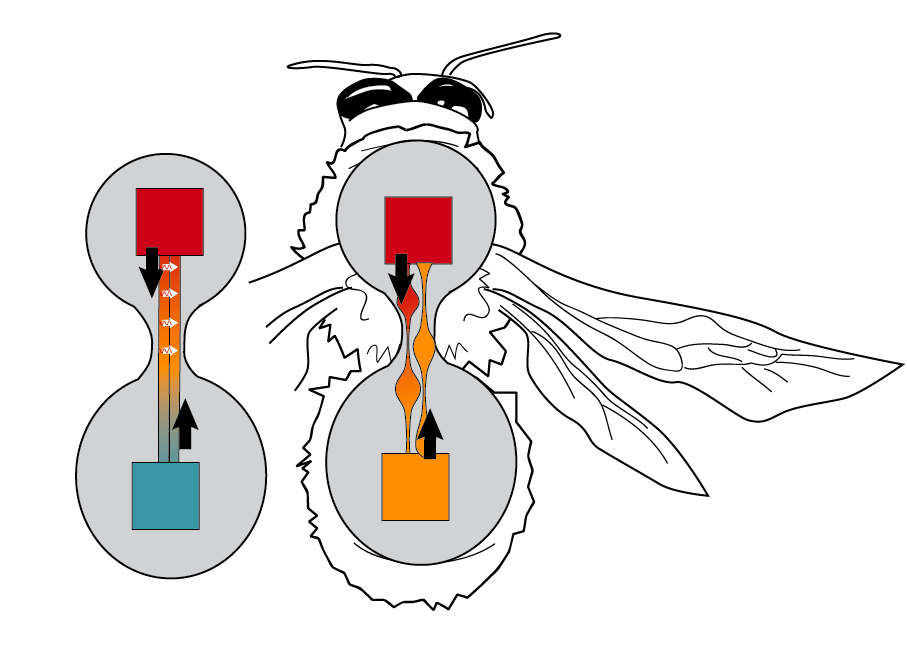 Bumblebees exhibit an interesting strategy for modifying countercurrent heat exchange.