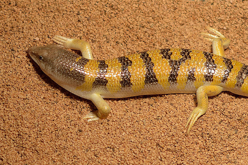 "Sandfish skink ""swims"" through dry sand without abrasive wear. (photo:  FinnHK )"