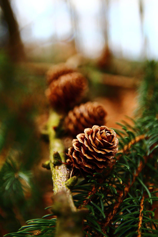 Open pinecone