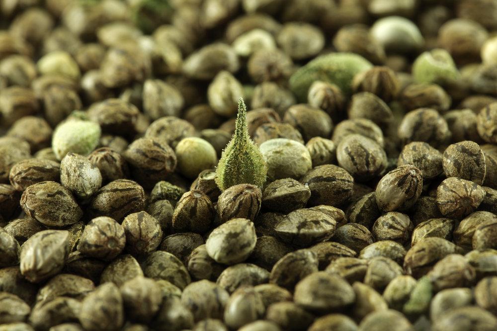3:Hemp seeds.jpg
