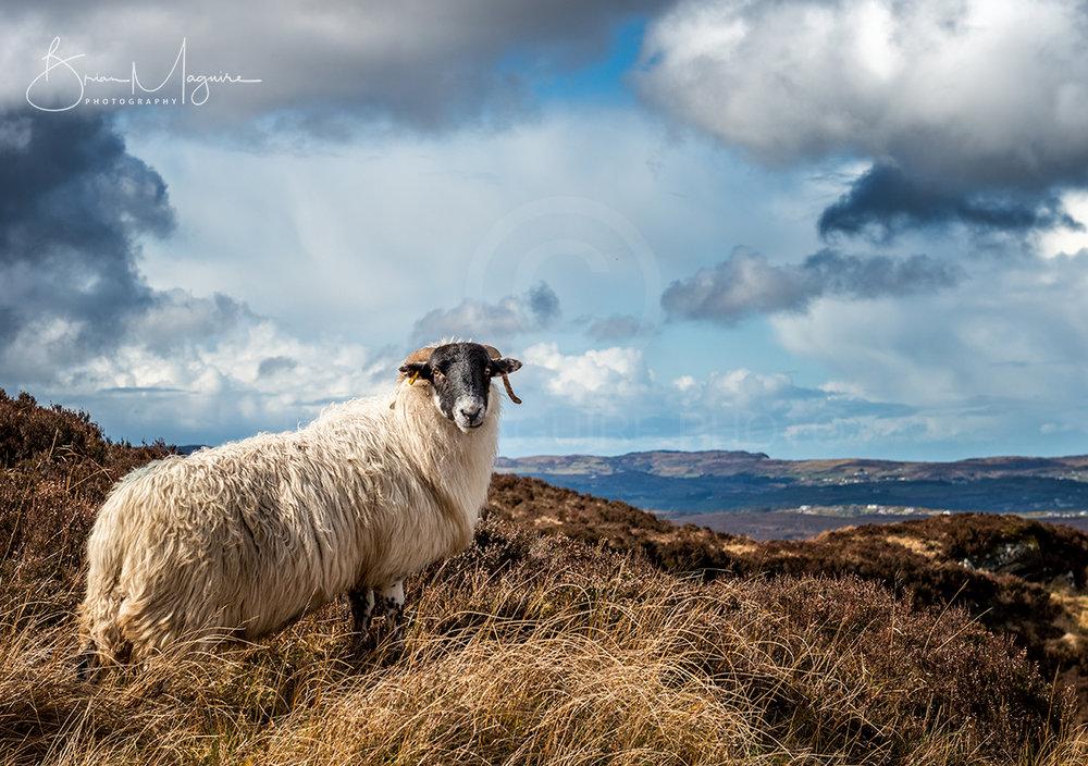 DL0013 Sean the Sheep