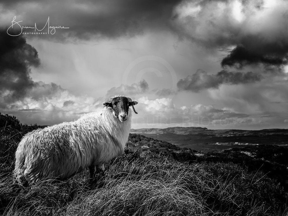 MON0008 Sean the Sheep