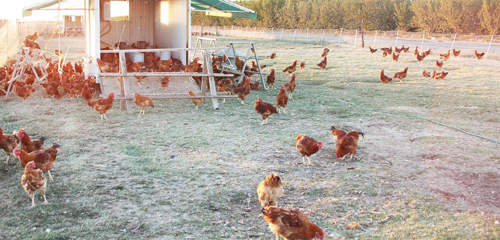 case-study_122116_marys-chickens.jpg