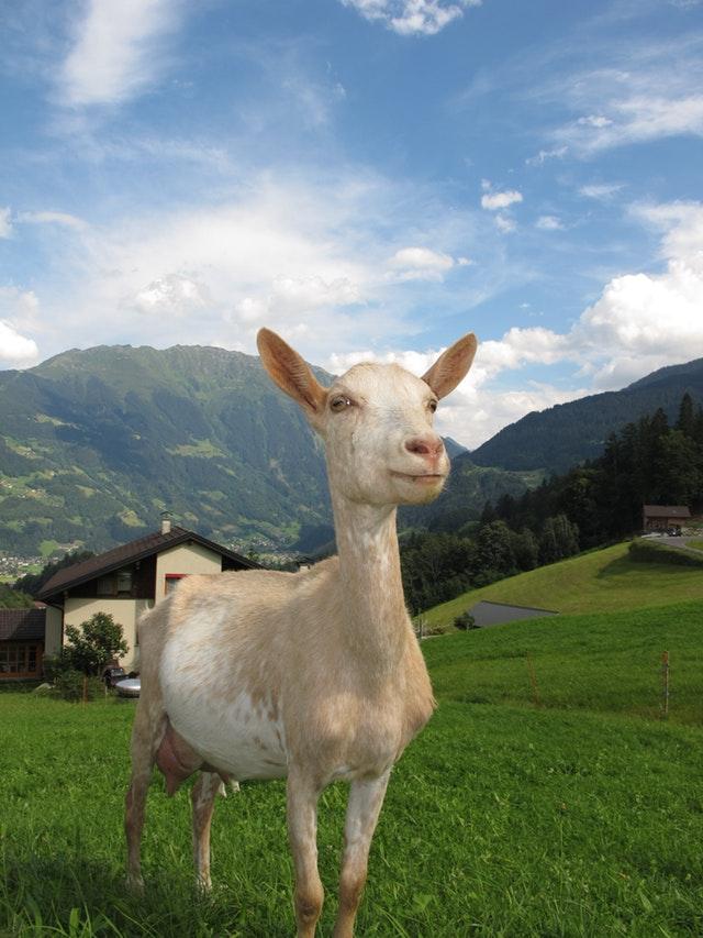 goat-in-austria-austria-goat-65246.jpeg