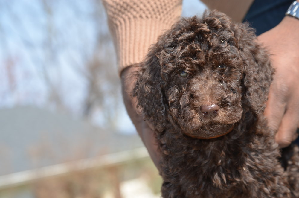 Cute Chocolate Labradoodle puppy