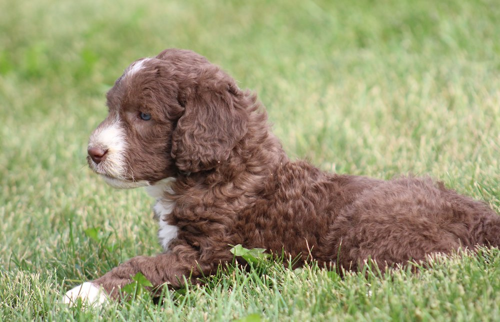 Chocolate and white labradoodles