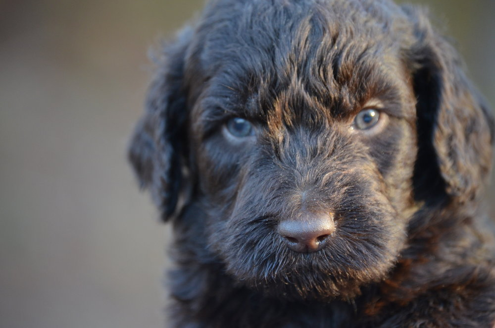Bentley is a Chocolate Labradoodle