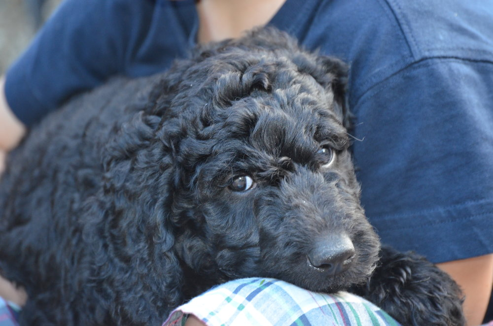 Macy is a black Labradoodle who loves kids, naps, and taking naps on kids.