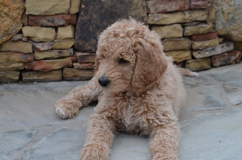 Blake is an Apricot Goldendoodle