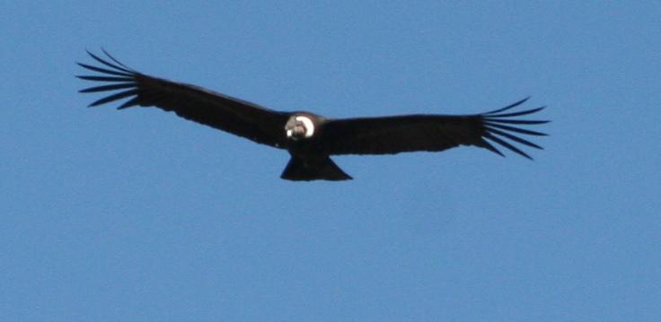 Flying Condor.jpg