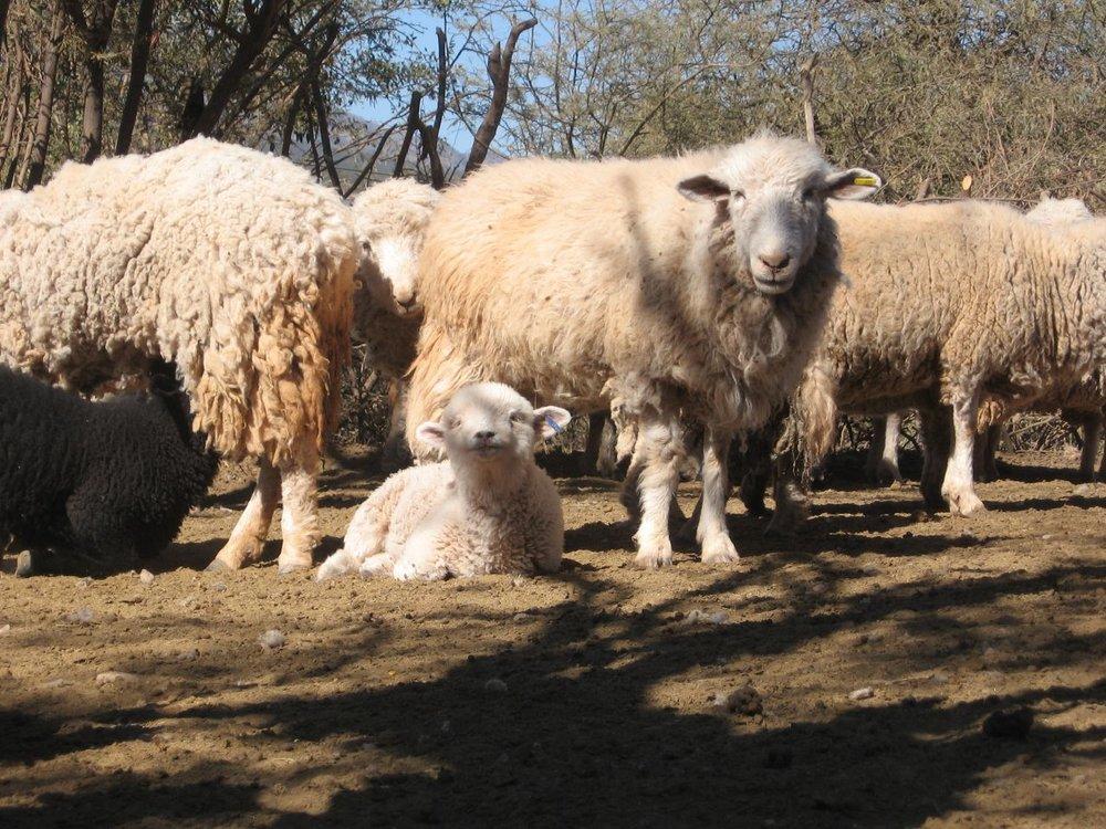 Sheep and Lamb - Copy - Copy - Copy - Copy.jpg