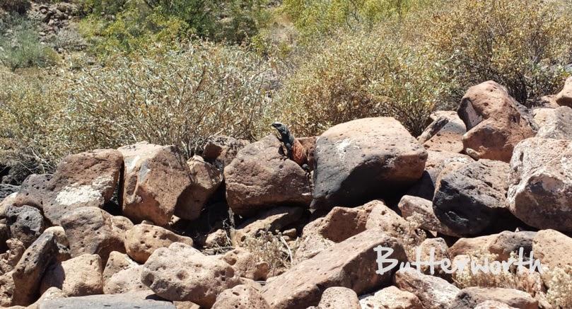chuckwalla lizard in thunderbird conservation park - glendale az