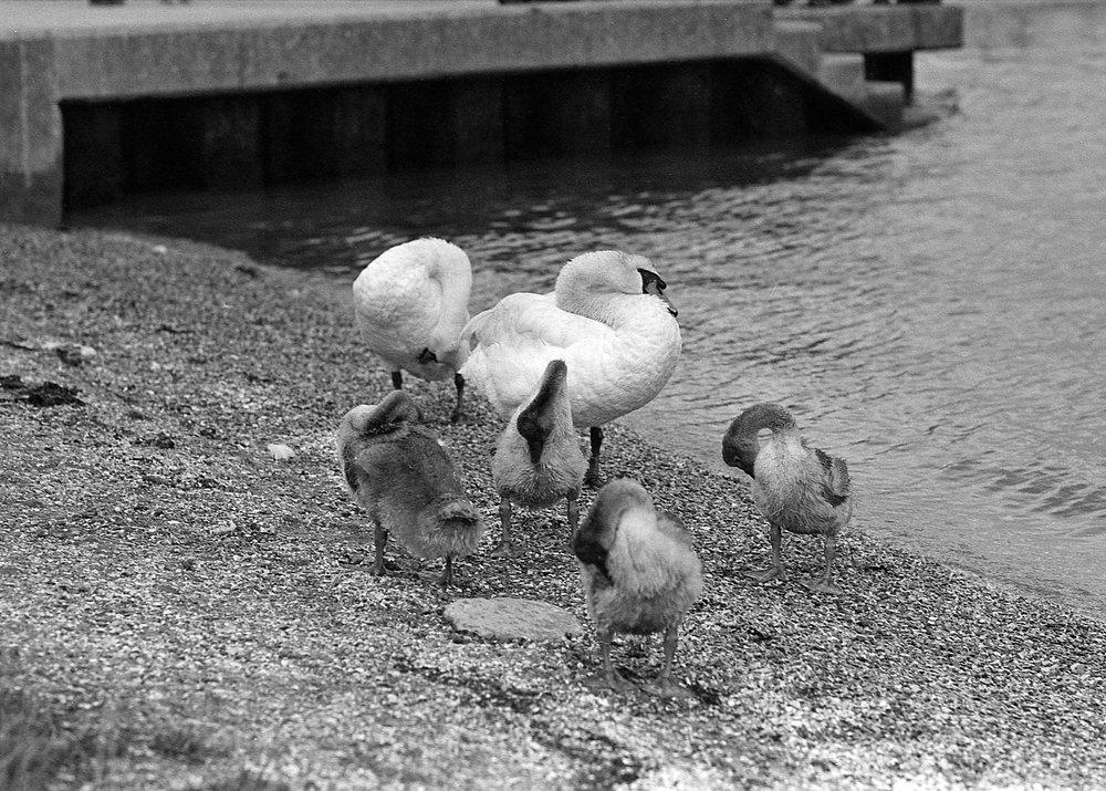 Seagulls on Ilford Super XP2