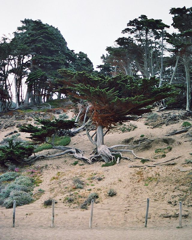 "I loved this tree while walking on the beach and I took this picture for my best buddy, cause once he told me: "" you know I kind like the way you photograph trees "". So here it is :) Shoot on potra 400 rated at 200.  #tree#sunrise #porta400#kodak #filmisnotdead #SF #filmphotography #bakerbeach #goldengatebrige #travel #instatravel #travelblog  #travelphotography #arountheworld #tourist #worldplaces"