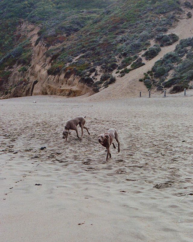 My kind of bud'. Walking #dogs on the beach .  Shoot on potra 400 rated at 200.  #tree#sunrise #dogsofinstagram #dogsofinstaworld  #porta400#kodak #filmisnotdead #SF #filmphotography #bakerbeach #goldengatebrige #travel #instatravel #travelblog  #travelphotography #arountheworld #tourist #worldplaces