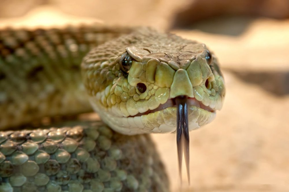 It's a coincidence that some poisonous snakes evolved angry eyebrows.