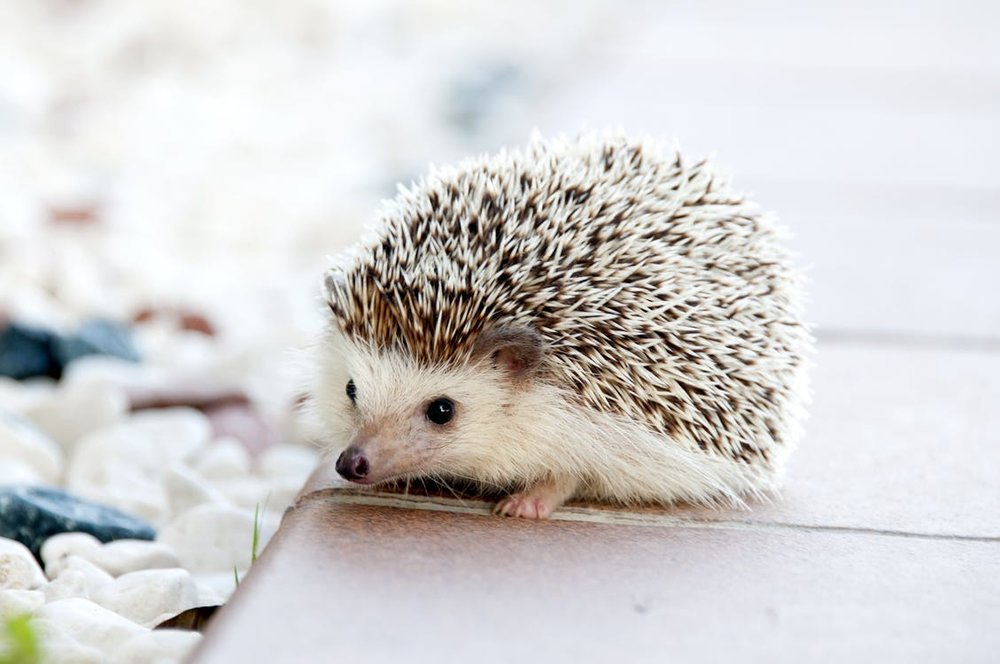 If you get overwhelmed, come back and look at this hedgehog.  He's very soothing.