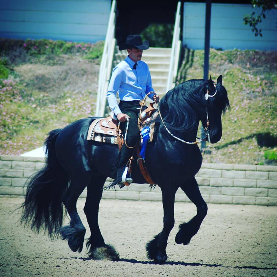Strata - Friesian stallion owned by Terri Matera. Shown at breed shows in Western Pleasure and Dressage Show Hack.